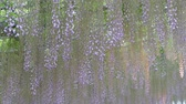wisteria : The beautiful spring flowers series, wisteria trellis in garden