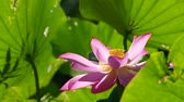 posição : pink lotus at the moring with nice background color