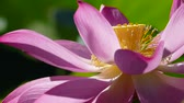 pink flower : pink lotus at the moring with nice background color
