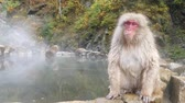 bath : Nature and wildlife concept - japanese macaque or snow monkey in hot spring of jigokudani park Stock Footage