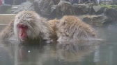 onsen : Nature and wildlife concept - japanese macaque or snow monkey in hot spring of jigokudani park Stock Footage