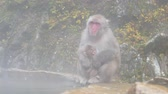 край : Nature and wildlife concept - japanese macaque or snow monkey in hot spring of jigokudani park Стоковые видеозаписи