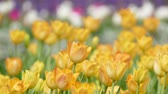 yellow tulips Stock Footage
