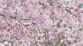 orientar : Sakura cherry blossom at Tianyuan temple Stock Footage