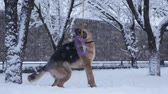 глупый : German shepherd dog playing with a toy rubber bagel tied to a tree during snowing. Slow motion