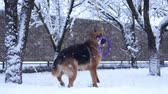 German shepherd dog playing with a toy rubber bagel tied to a tree during snowing. Slow motion