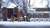 German shepherd dog playing with a toy rubber ball during the heavy snow, the beginning of winter