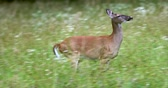 clareira : Portrait of a beautiful deer in a grass field. Deer is running.