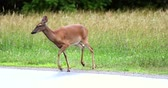 cervidae : Deer running across the road between the fields.