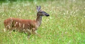 bucks : Portrait of a beautiful deer in a grass field. Deer is running.