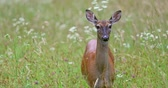 srna : Portrait of a beautiful deer in a grass field.