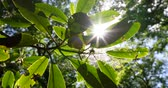 druiven : rays of the summer sun shining through the green foliage of the trees Stockvideo
