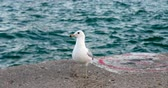Gull is staying on the beach. Gull is flying away. Stock Footage