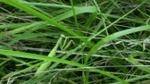 gras : Praying Mantis