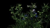 wzrost : Time lapse of Delphinium(Delphinium sp.), or Larkspur, flowers blooming.