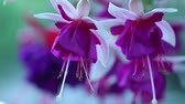 beauty in nature : Close-up of Fuchsia(Fuchsia sp.) flowers. Stock Footage