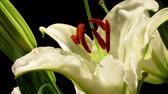 kwiaty : Time-lapse of white lily flowers blooming.