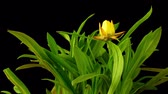everlasting : Time-lapse of a Strawflower or Golden Everlasting(Xerochrysum bracteatum) flower blooming.