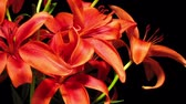 kwiaty : Time-lapse of red Asiatic lily flowers blooming.