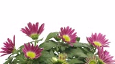 kwiaty : Time-lapse of purple chrysanthemum flowers blooming. Wideo