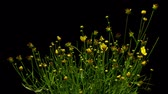 живая природа : Time-lapse of yellow Coreopsis flowers blooming.