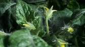 plântula : Time lapse of a tomato plant. Studio shot over black. Stock Footage
