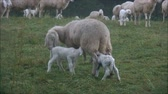 ovelha : nursing lambs in the field Stock Footage