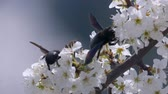 ameixa : bumble bee collects nectar