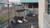 ali di pollo : Bird yard in the village with pet birds ducks and ciples