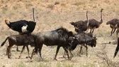 struś : Blue wildebeest walking with ostriches