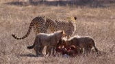 veld : Adult cheetah and cubs feeding in the kalahari