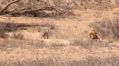 veld : Adult cheetah dragging carcass in the Kalahari