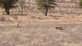veld : Adult cheetah watching cubs feeding in the Kalahari Stock Footage