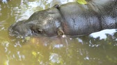 aquático : Hippopotamus cub dives in the water Stock Footage