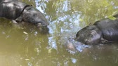 aquático : Two little hippopotamus cub dives in the water