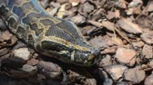 lizard : The head of a large multi-colored python Stock Footage