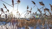 bažina : Reed against the background of the winter sky against the backlight. Slider