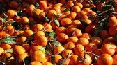 yarıya : A lot of fresh oranges