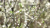 probuzení : Early spring, unopened white flowers on the branches of a fruit tree