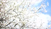 florescence : Flowering fruit tree in early spring. Stock Footage