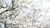 nupcial : Flowering fruit tree in early spring. Stock Footage