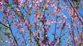 cherry blossom branch : Delicate pink peach blossoms in spring.