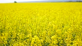 рапсовое : Rape field in Ukraine, yellow flowers in the wind Стоковые видеозаписи