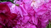 пион : Magenta garden peony Paeonia suffruticosa flowers with grassy lawn in the background. Стоковые видеозаписи