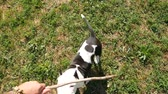 firmly : POV top-down view, owner tease cute young beagle dog with wooden stick, slow motion shot