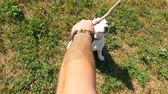 snatch : POV top-down view, owner tease cute young beagle dog with wooden stick, slow motion shot