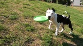 collie : SLOW MOTION, Adorable young dog plays with owner and a destroyed toy in the sunny countryside. Playful border collie puppy tugging on a shredded toys during playtime in nature.