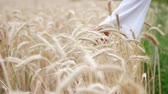 disfraces : Close-up of womans hand running through wheat field, dolly shot. Archivo de Video