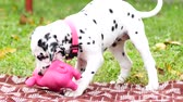 panting : The Dalmatian puppy plays in the yard. Stock Footage