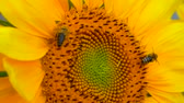 нектар : bee tring to find the best pollen on the head of sunflower.